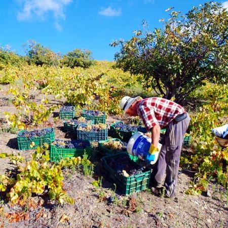 Vendimia con nosotros. Poda, Vid y Vendimia en viñedos Nestares Rincón :: © Bodegas Nestares Rincón