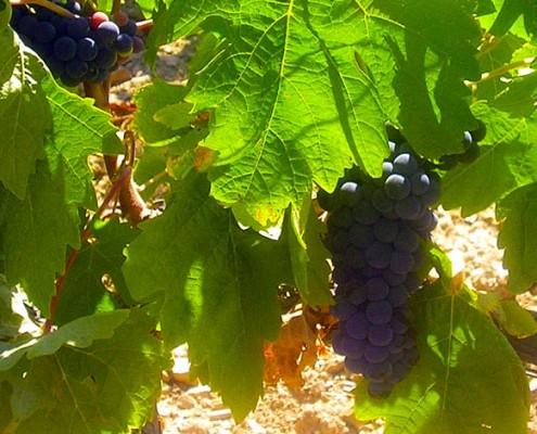 Detail of a vine :: © Bodegas Nestares Rincon