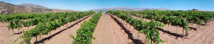 Viñas en verano en Torvizcón :: Merlot, Syrah, Tempranillo y Petit Verdot :: © Bodegas Nestares Rincón, Alpujárride.